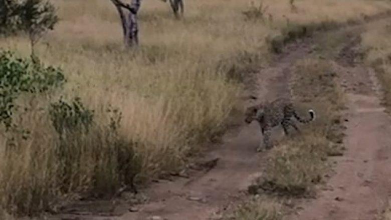 Leopardi u hodh në ajër, zuri shpezën që doli prej shkurreve (Video)